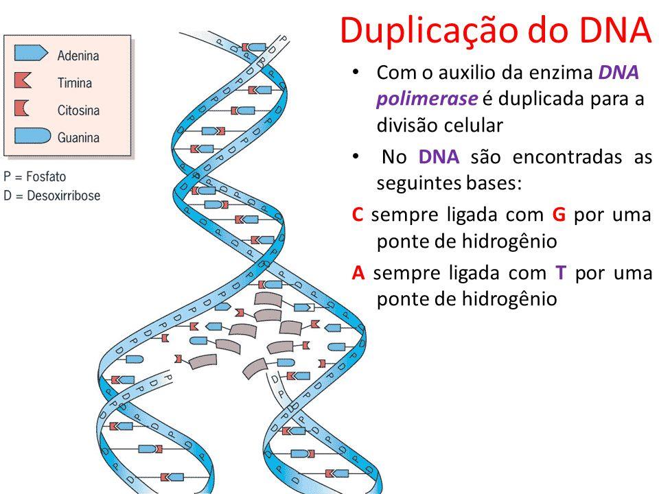 Duplicação do DNA Com o auxilio da enzima DNA polimerase é duplicada para a divisão celular. No DNA são encontradas as seguintes bases: