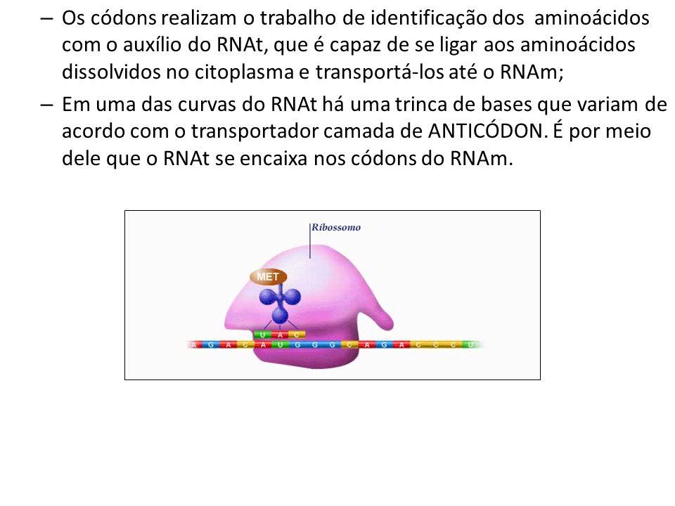 Os códons realizam o trabalho de identificação dos aminoácidos com o auxílio do RNAt, que é capaz de se ligar aos aminoácidos dissolvidos no citoplasma e transportá-los até o RNAm;