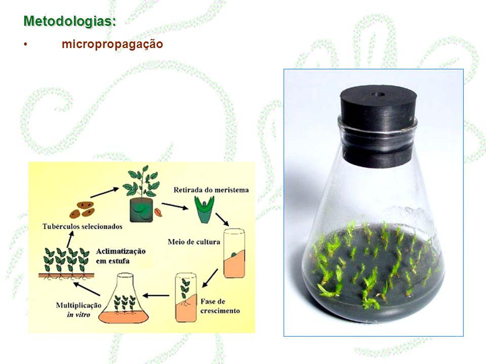 Metodologias: micropropagação