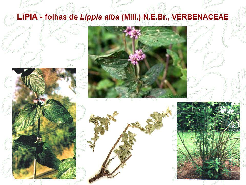 LíPIA - folhas de Lippia alba (Mill.) N.E.Br., VERBENACEAE