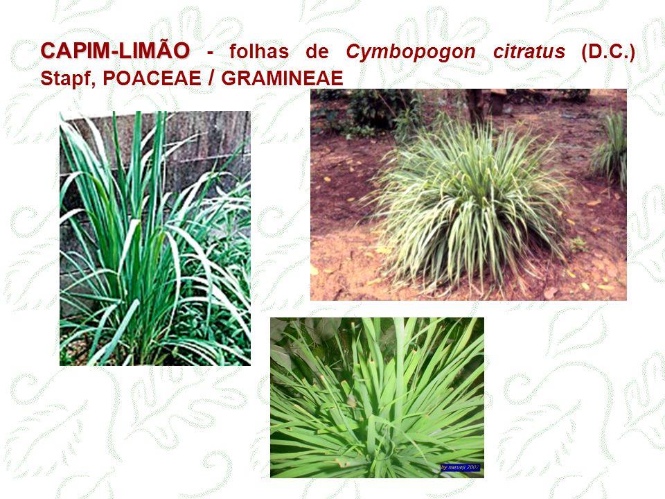 CAPIM-LIMÃO - folhas de Cymbopogon citratus (D. C