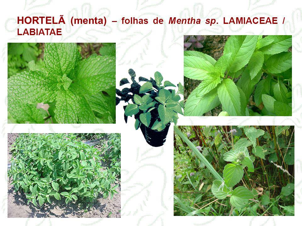 HORTELÃ (menta) – folhas de Mentha sp. LAMIACEAE / LABIATAE