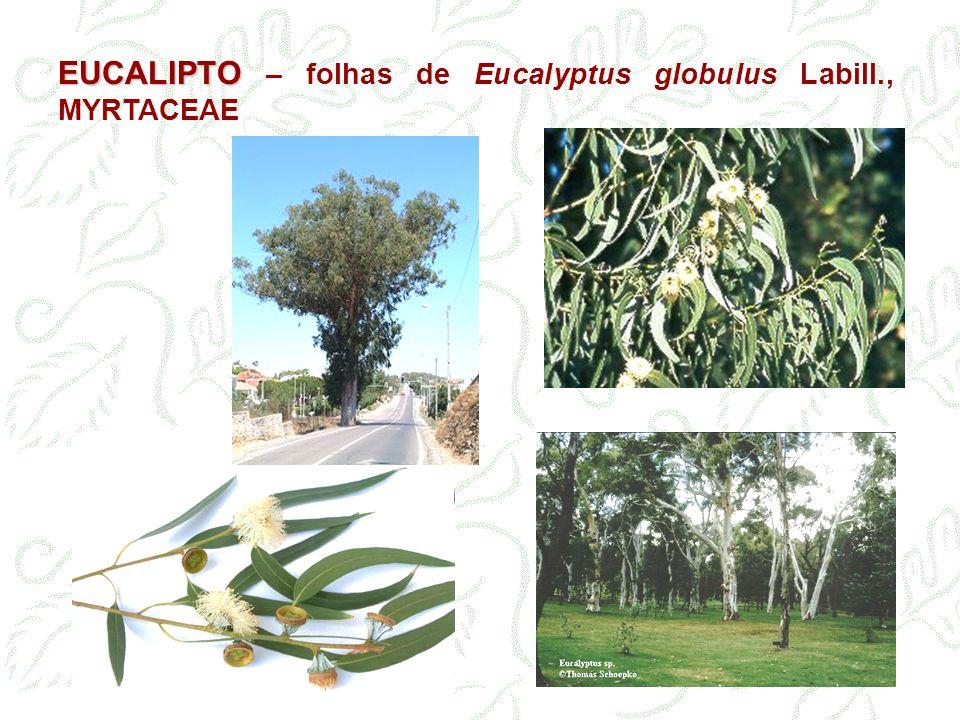 EUCALIPTO – folhas de Eucalyptus globulus Labill., MYRTACEAE