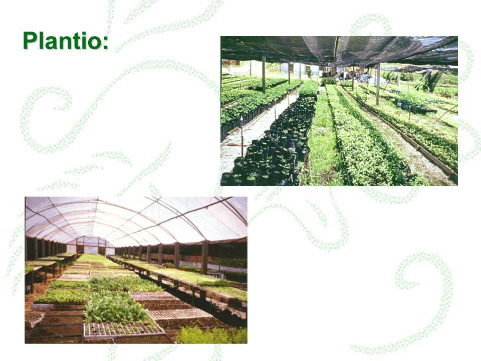 Plantio: