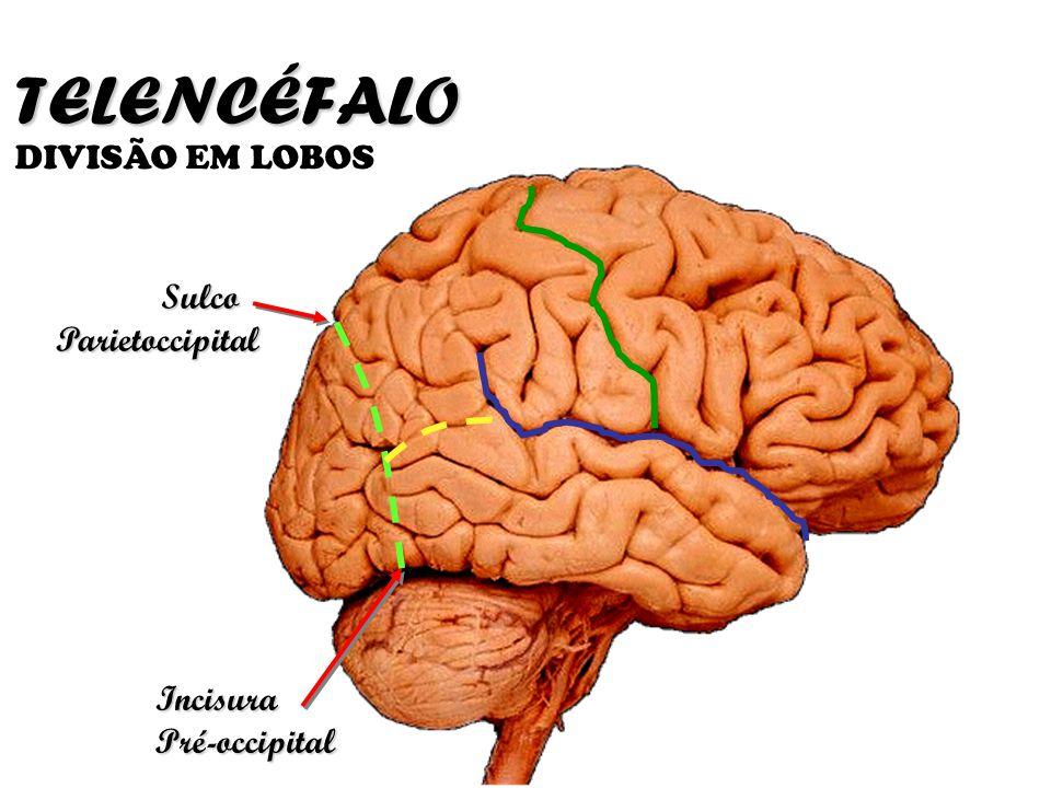 TELENCÉFALO DIVISÃO EM LOBOS Sulco Parietoccipital