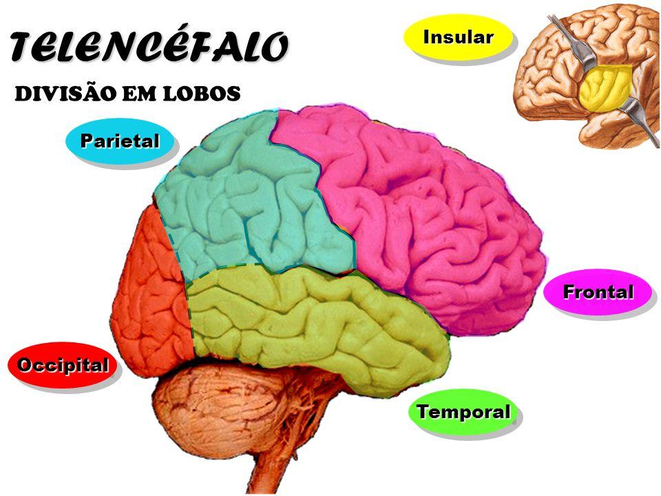 TELENCÉFALO DIVISÃO EM LOBOS Insular Parietal Frontal Occipital