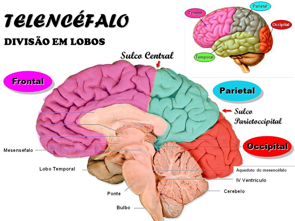 TELENCÉFALO DIVISÃO EM LOBOS Sulco Central Frontal Parietal