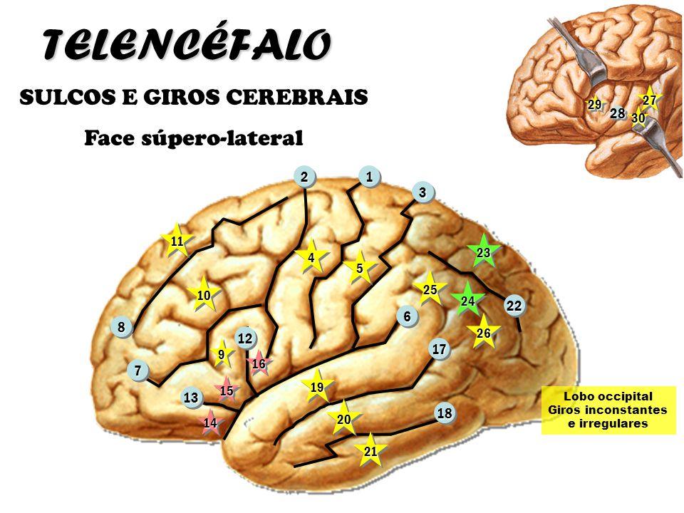 SULCOS E GIROS CEREBRAIS