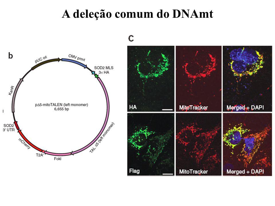 A deleção comum do DNAmt