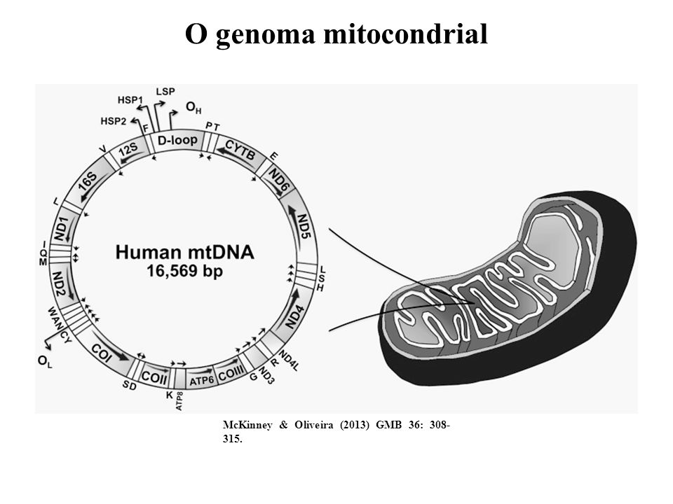 O genoma mitocondrial McKinney & Oliveira (2013) GMB 36: 308-315.