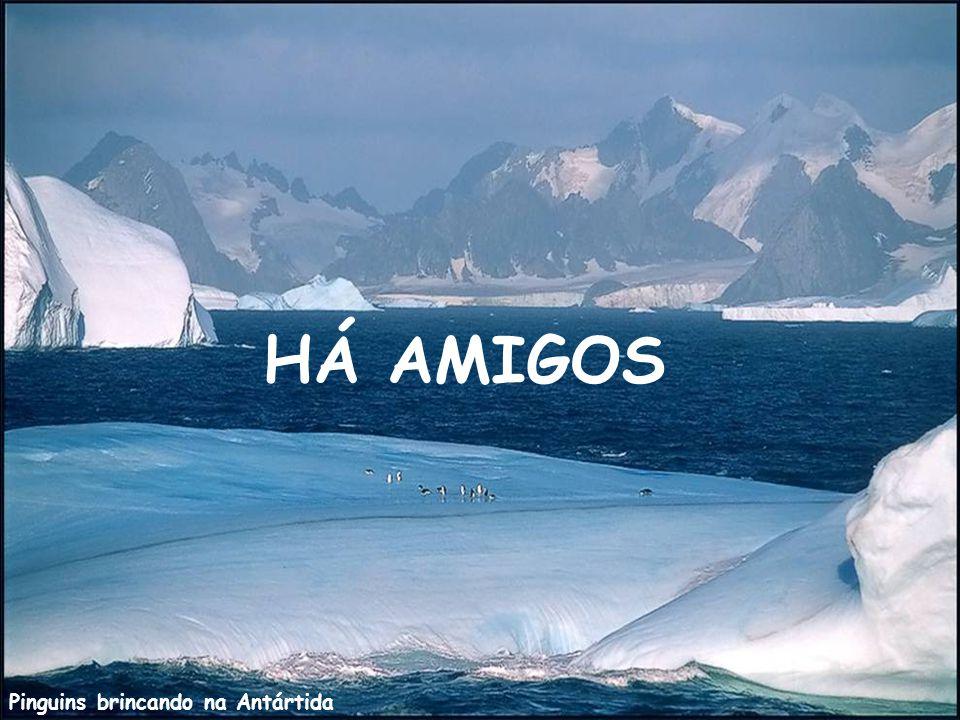HÁ AMIGOS Pinguins brincando na Antártida