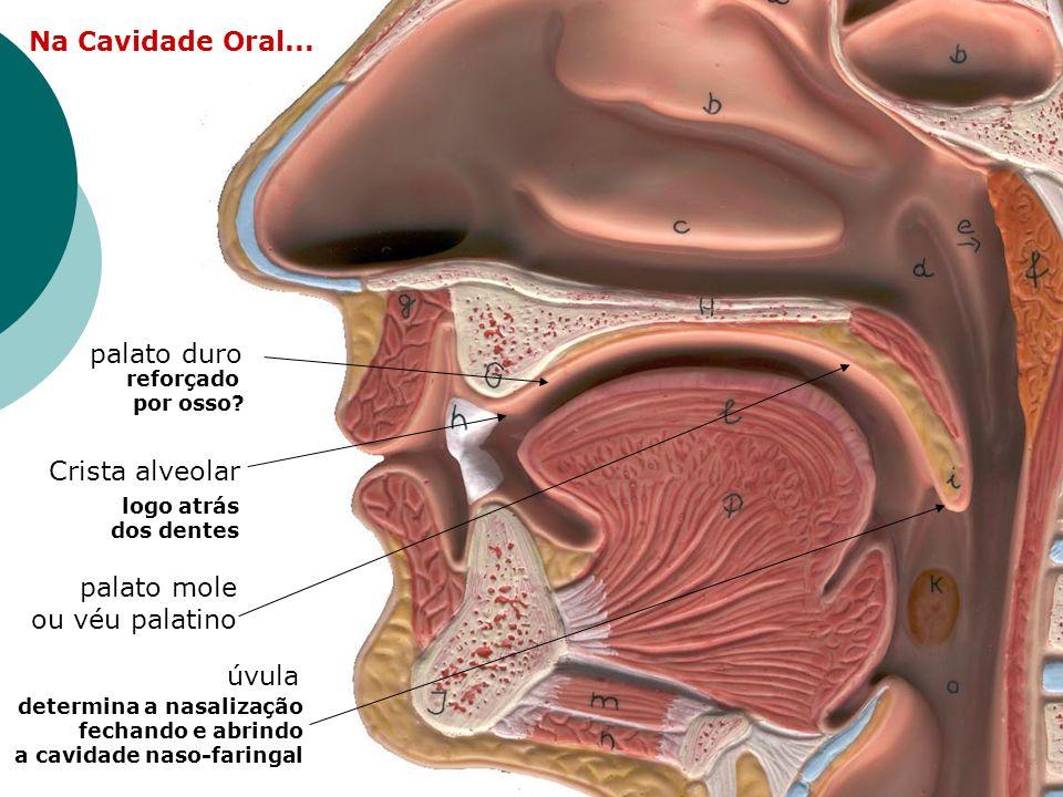 Na Cavidade Oral... palato duro Crista alveolar palato mole