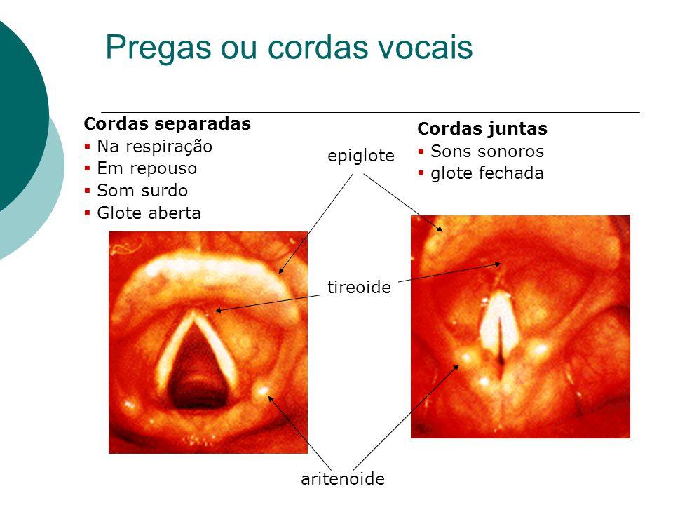 Pregas ou cordas vocais