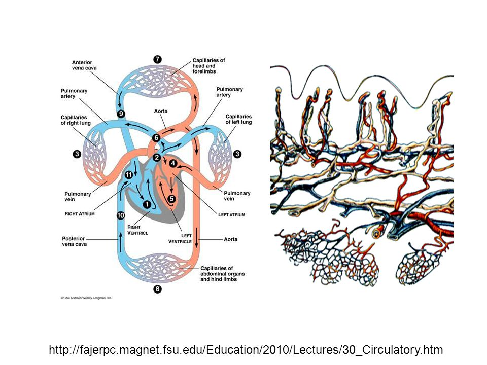 http://fajerpc.magnet.fsu.edu/Education/2010/Lectures/30_Circulatory.htm