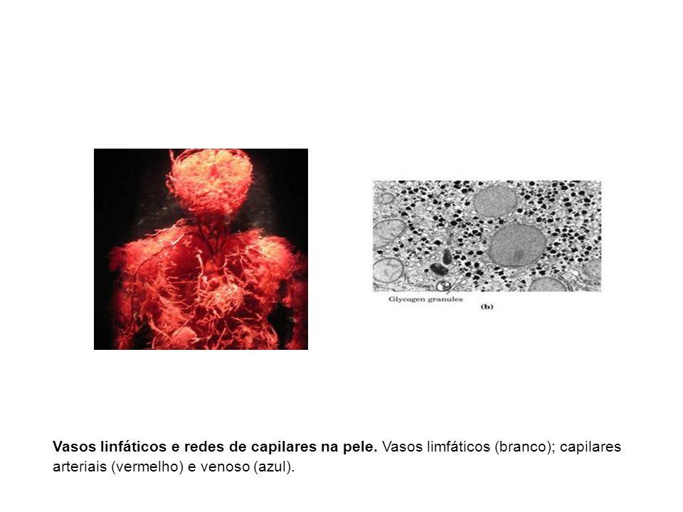 Vasos linfáticos e redes de capilares na pele