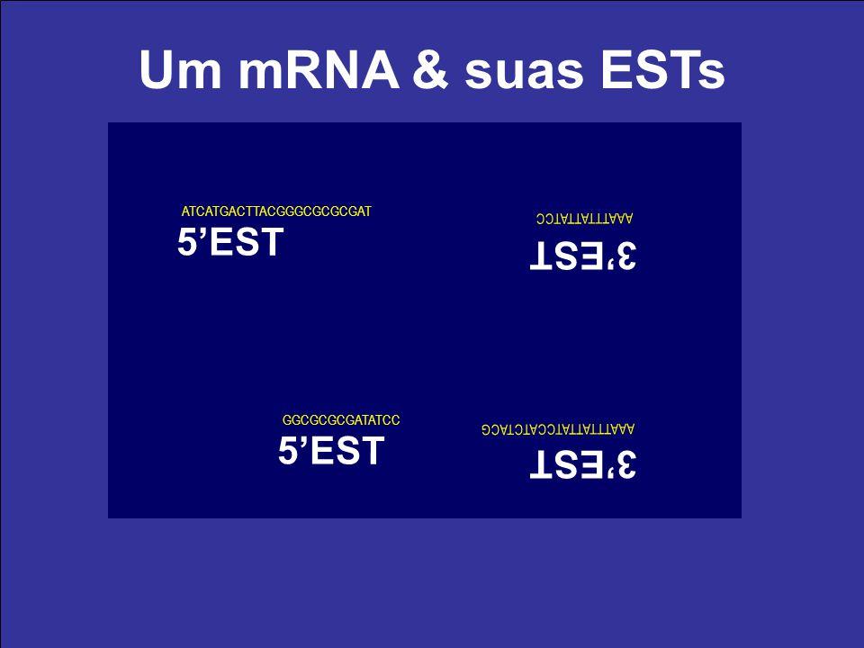 Um mRNA & suas ESTs 5'EST 3'EST 5'EST 3'EST mRNA AUG ATG cDNA (fita +)