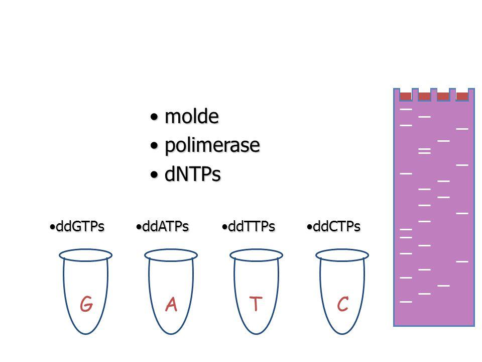 molde polimerase dNTPs ddGTPs ddATPs ddTTPs ddCTPs G A T C