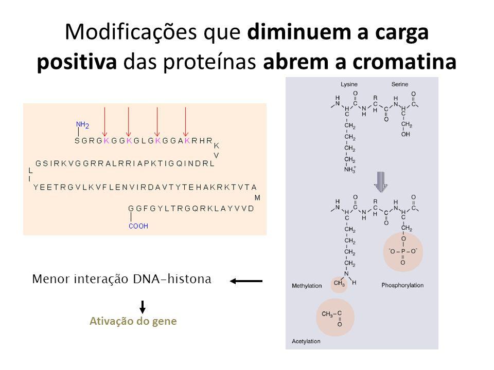 Modificações que diminuem a carga positiva das proteínas abrem a cromatina