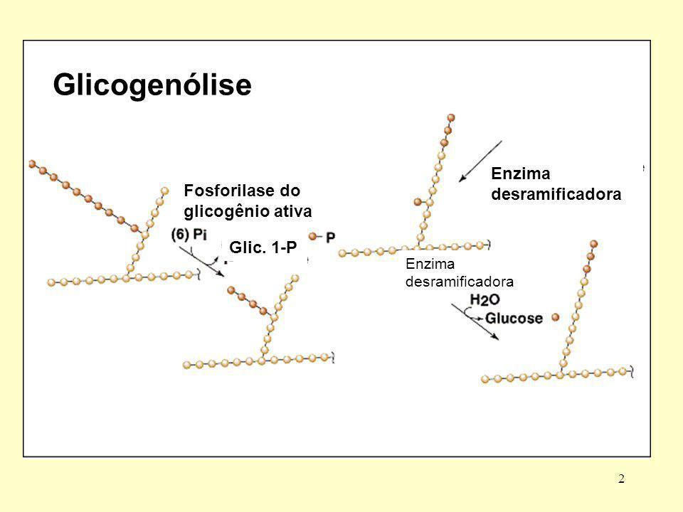 Glicogenólise Enzima desramificadora Fosforilase do glicogênio ativa