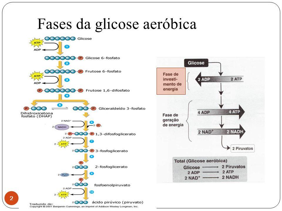 Fases da glicose aeróbica