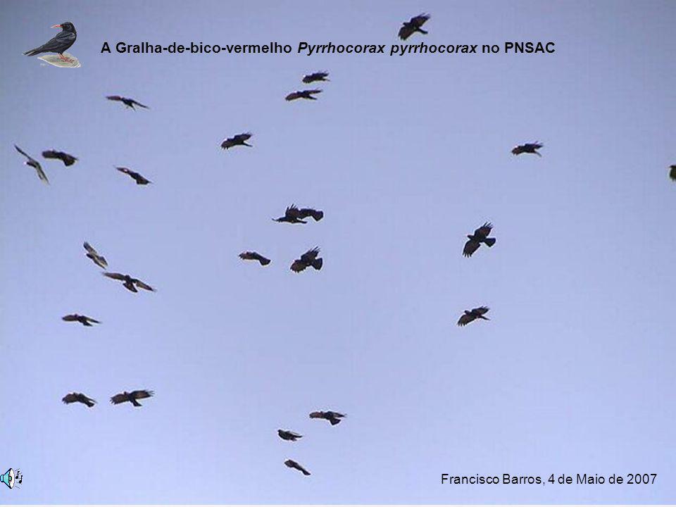 A Gralha-de-bico-vermelho Pyrrhocorax pyrrhocorax no PNSAC