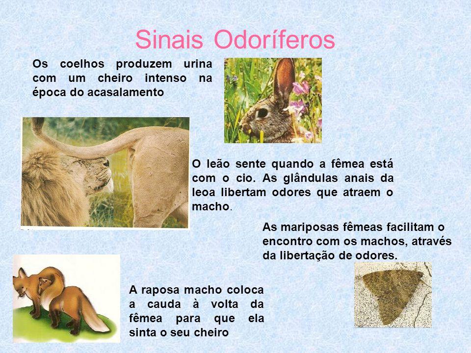 Sinais Odoríferos Os coelhos produzem urina com um cheiro intenso na época do acasalamento.