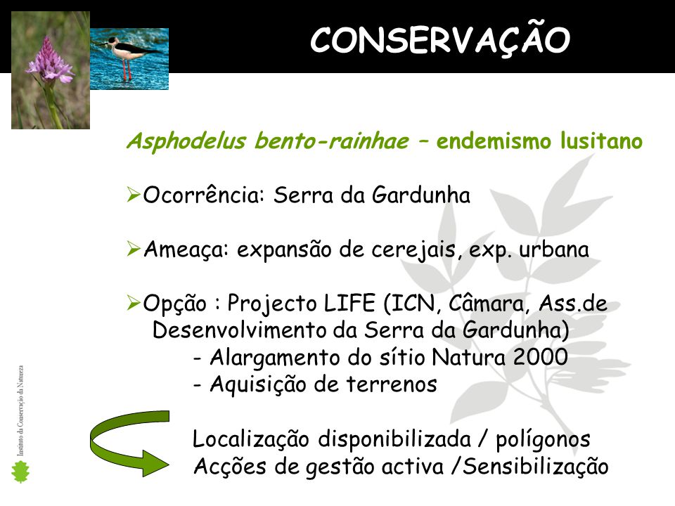 CONSERVAÇÃO Asphodelus bento-rainhae – endemismo lusitano