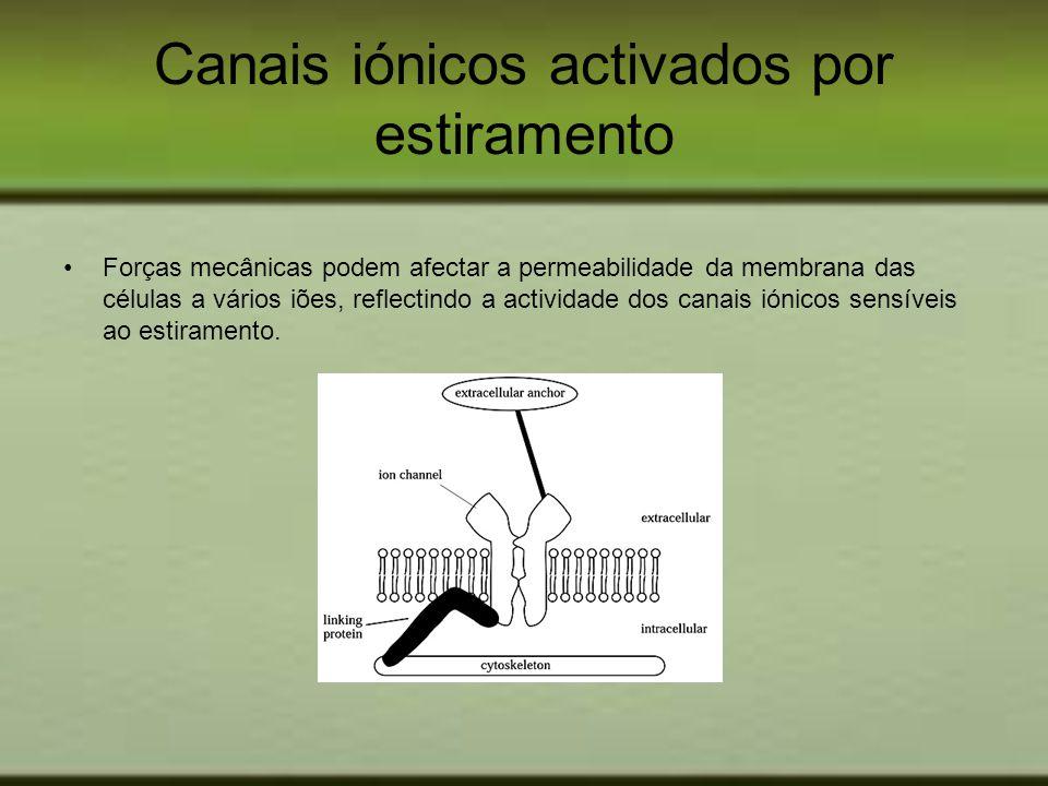 Canais iónicos activados por estiramento