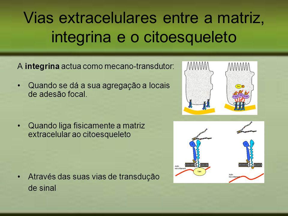 Vias extracelulares entre a matriz, integrina e o citoesqueleto