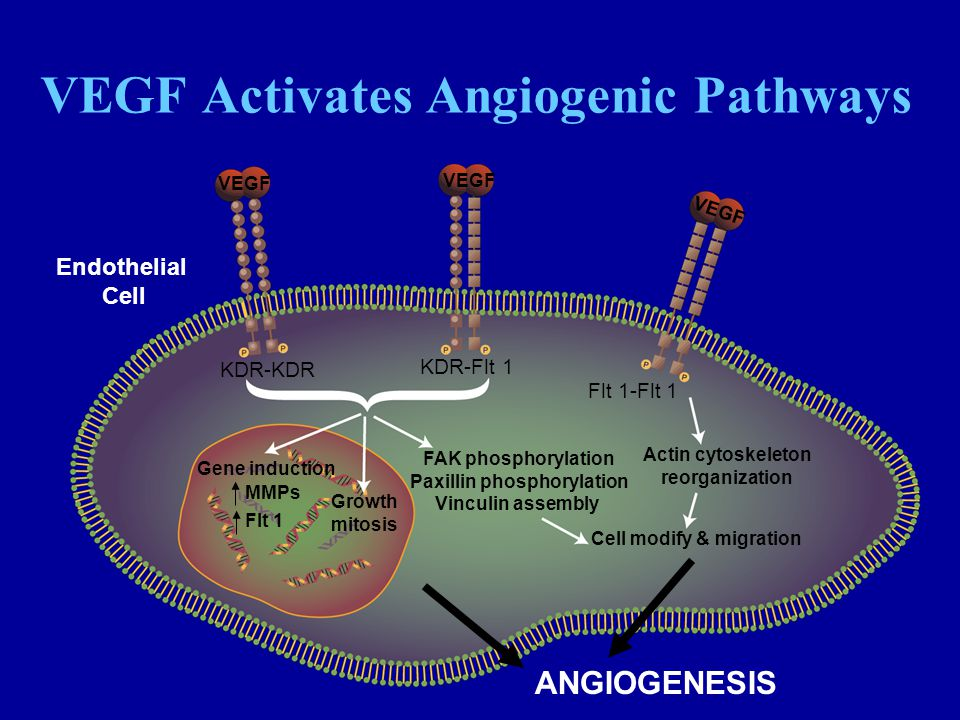 VEGF Activates Angiogenic Pathways