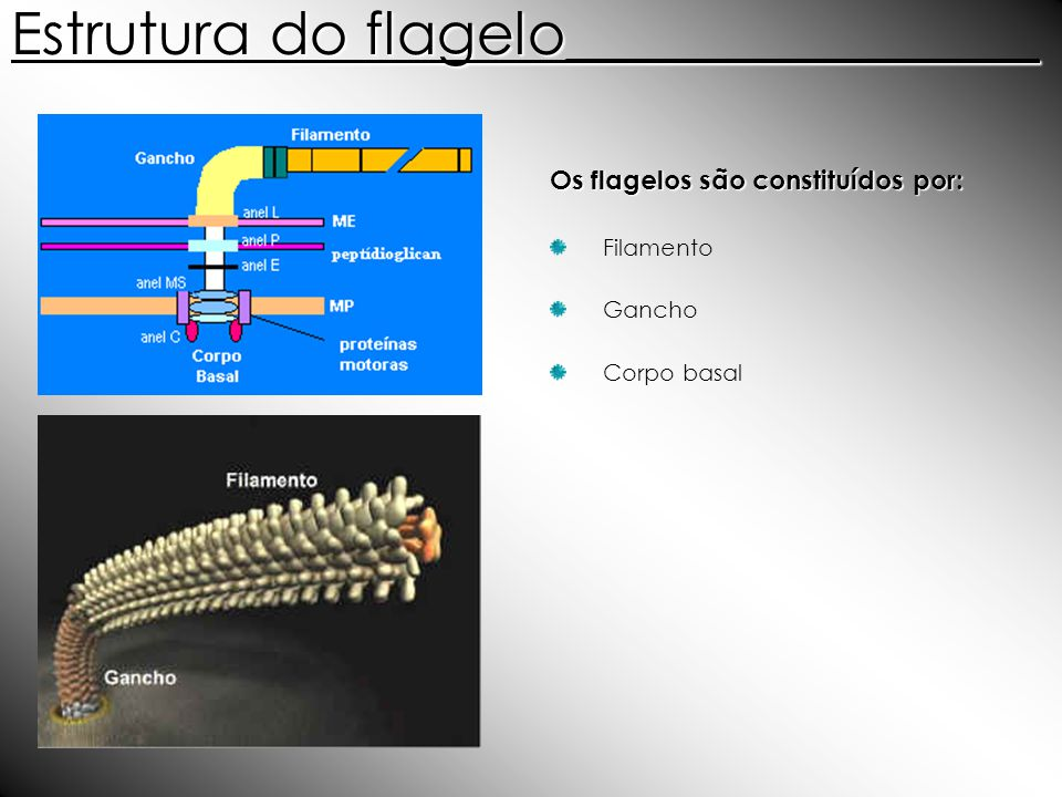 Estrutura do flagelo________________