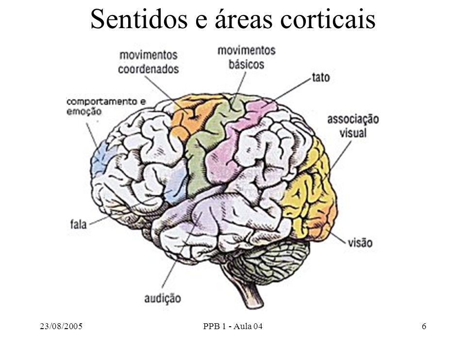 Sentidos e áreas corticais