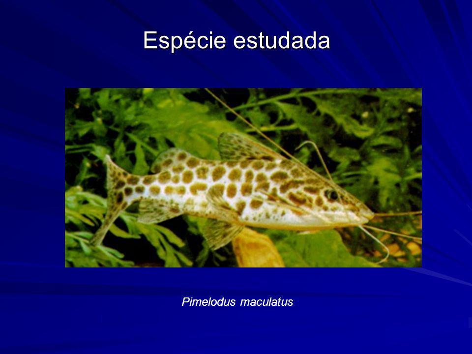 Espécie estudada Pimelodus maculatus