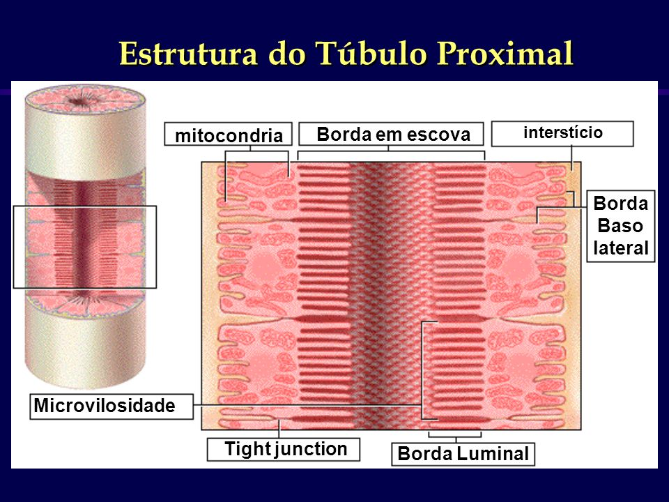 Estrutura do Túbulo Proximal