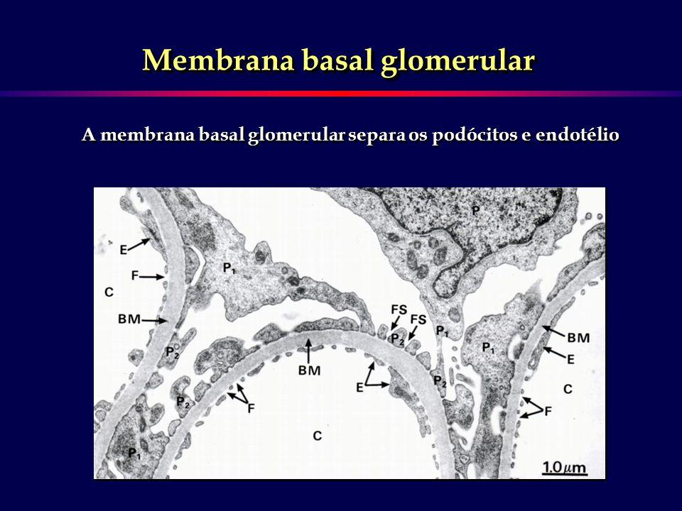 Membrana basal glomerular