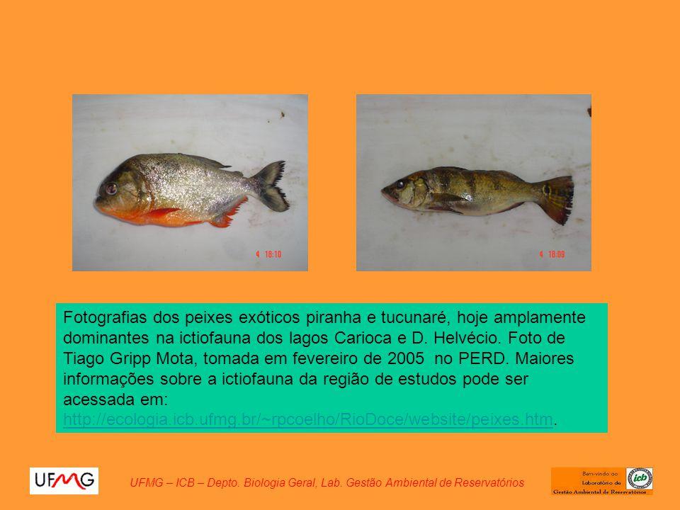 Fotografias dos peixes exóticos piranha e tucunaré, hoje amplamente dominantes na ictiofauna dos lagos Carioca e D. Helvécio. Foto de Tiago Gripp Mota, tomada em fevereiro de 2005 no PERD. Maiores informações sobre a ictiofauna da região de estudos pode ser acessada em: http://ecologia.icb.ufmg.br/~rpcoelho/RioDoce/website/peixes.htm.