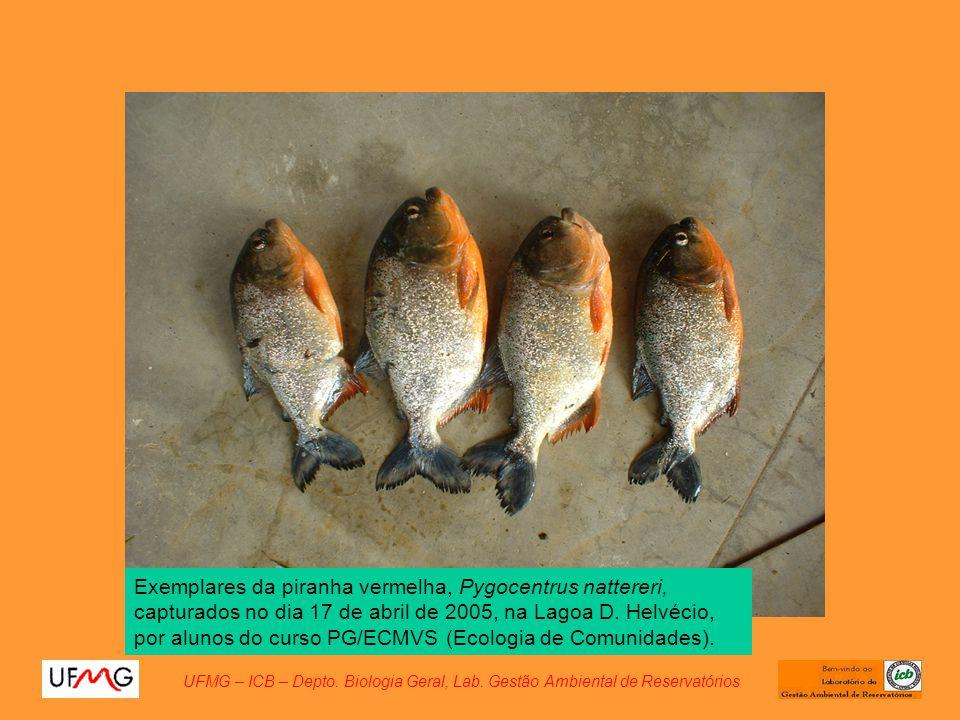 Exemplares da piranha vermelha, Pygocentrus nattereri, capturados no dia 17 de abril de 2005, na Lagoa D. Helvécio, por alunos do curso PG/ECMVS (Ecologia de Comunidades).