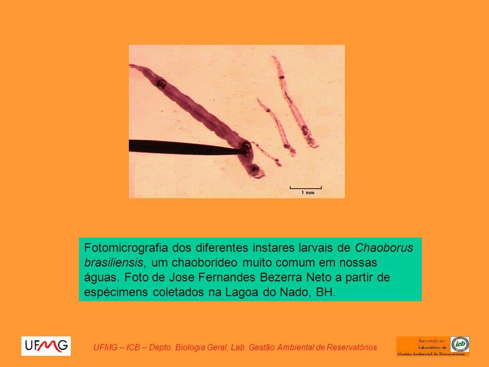 Fotomicrografia dos diferentes instares larvais de Chaoborus brasiliensis, um chaoborideo muito comum em nossas águas. Foto de Jose Fernandes Bezerra Neto a partir de espécimens coletados na Lagoa do Nado, BH.