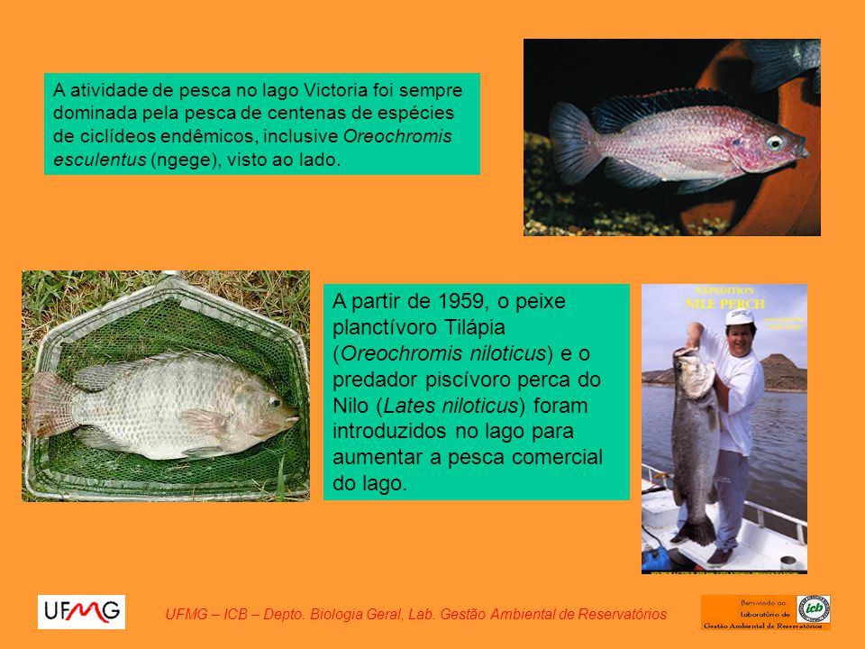 A atividade de pesca no lago Victoria foi sempre dominada pela pesca de centenas de espécies de ciclídeos endêmicos, inclusive Oreochromis esculentus (ngege), visto ao lado.