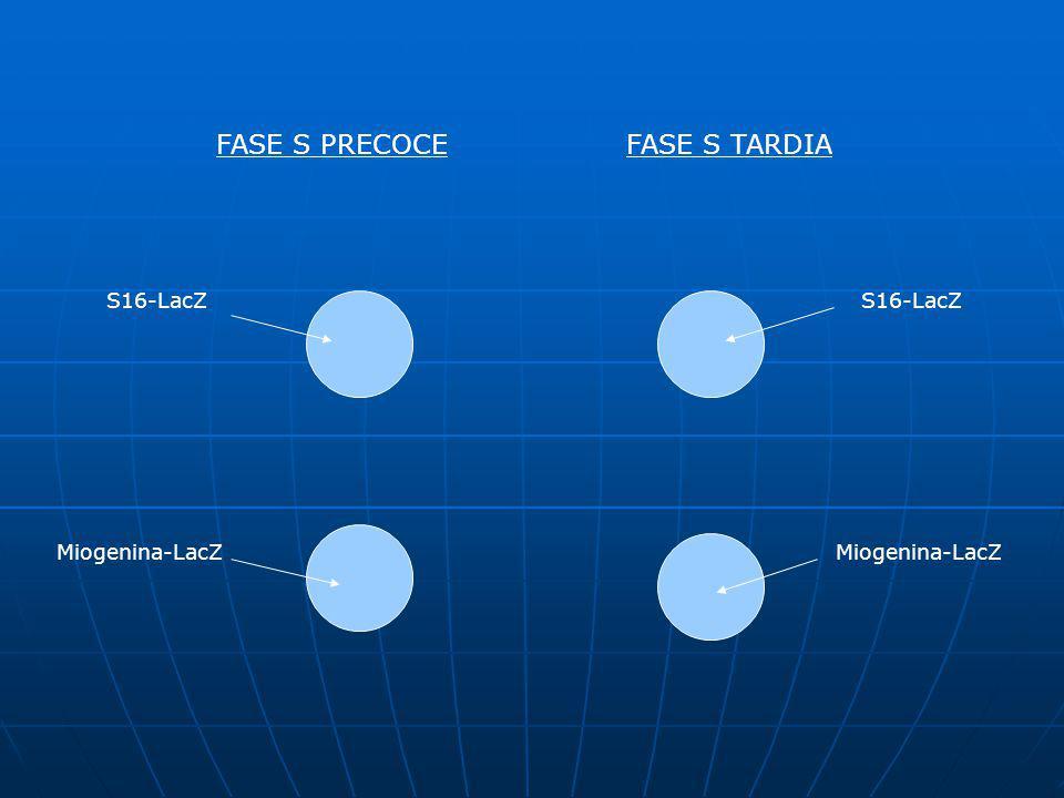 INTRODUÇÃO O objetivo do trabalho é determinar em qual período da fase S ocorre maior eficiência de transcrição.