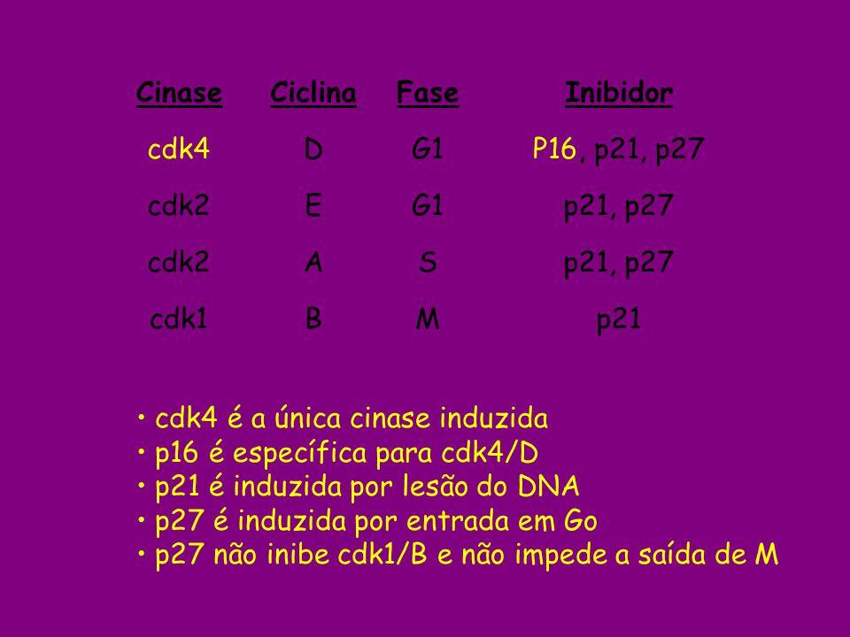 Cinase Ciclina. Fase. cdk4. D. G1. cdk2. E. A. S. cdk1. B. M. Inibidor. P16, p21, p27.