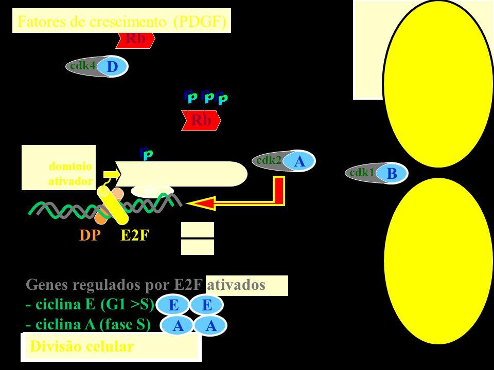 p p p p p Fatores de crescimento (PDGF) Rb D Rb E A Rb B DP E2F