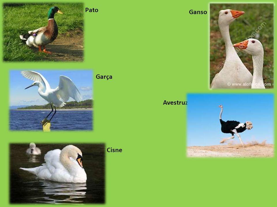 Pato Ganso Garça Avestruz Cisne