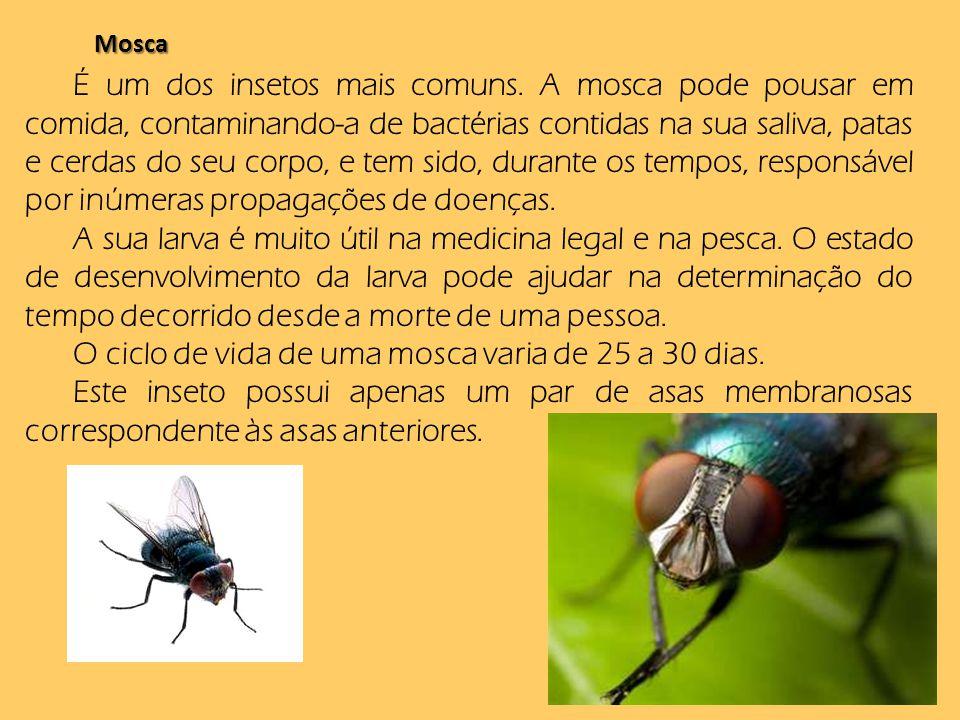 O ciclo de vida de uma mosca varia de 25 a 30 dias.
