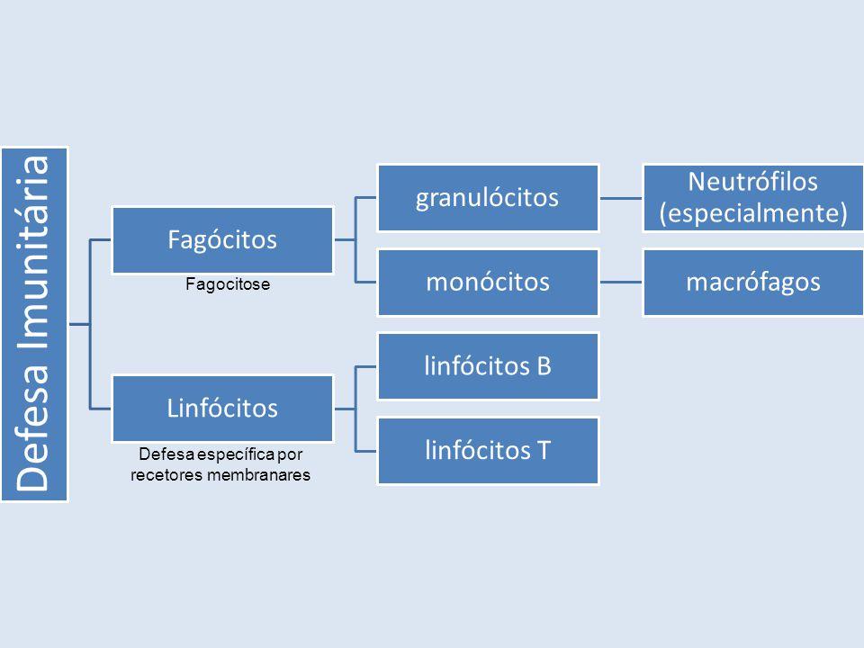 Defesa Imunitária Fagócitos granulócitos Neutrófilos (especialmente)