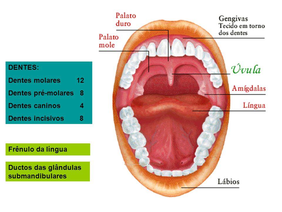 DENTES: Dentes molares 12. Dentes pré-molares 8. Dentes caninos 4. Dentes incisivos 8.