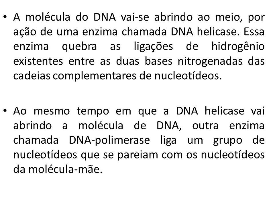 A molécula do DNA vai-se abrindo ao meio, por ação de uma enzima chamada DNA helicase. Essa enzima quebra as ligações de hidrogênio existentes entre as duas bases nitrogenadas das cadeias complementares de nucleotídeos.