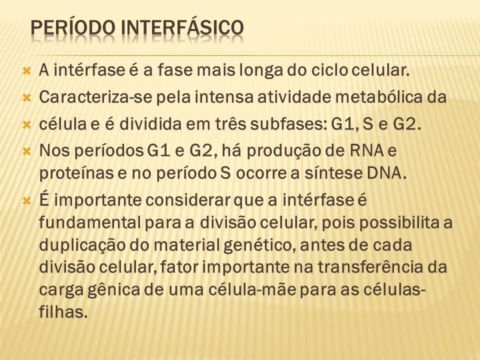 PERÍODO INTERFÁSICO A intérfase é a fase mais longa do ciclo celular.