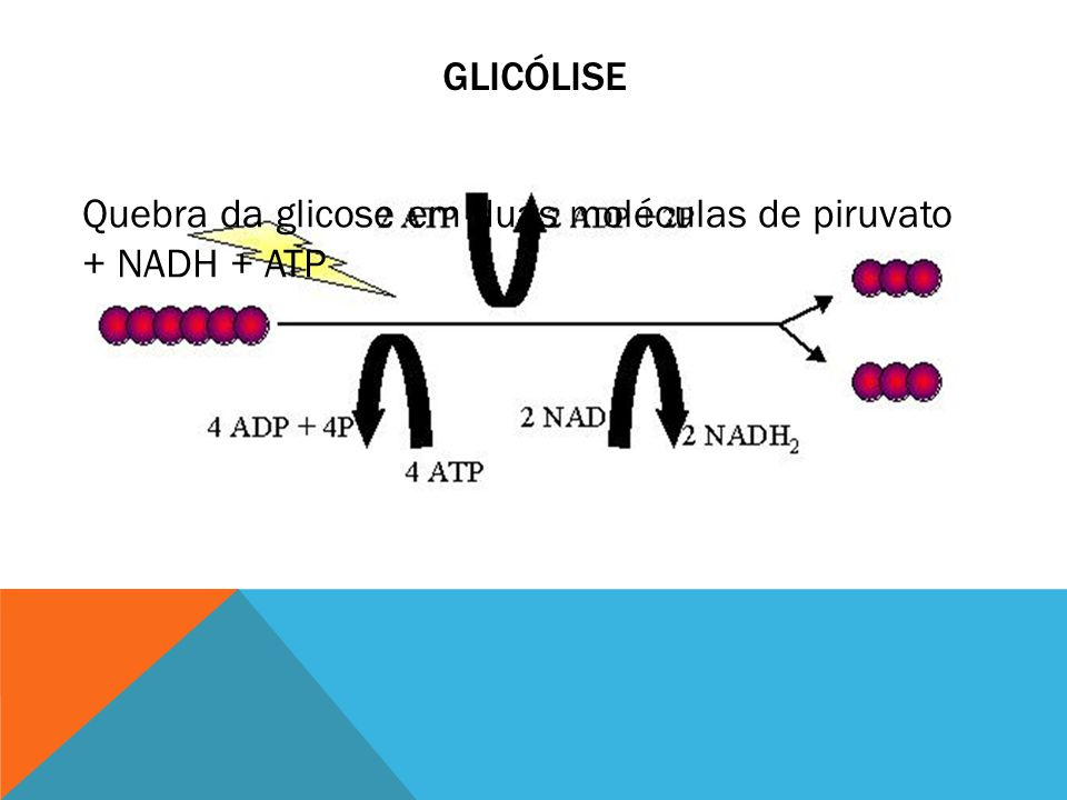 Glicólise Quebra da glicose em duas moléculas de piruvato + NADH + ATP