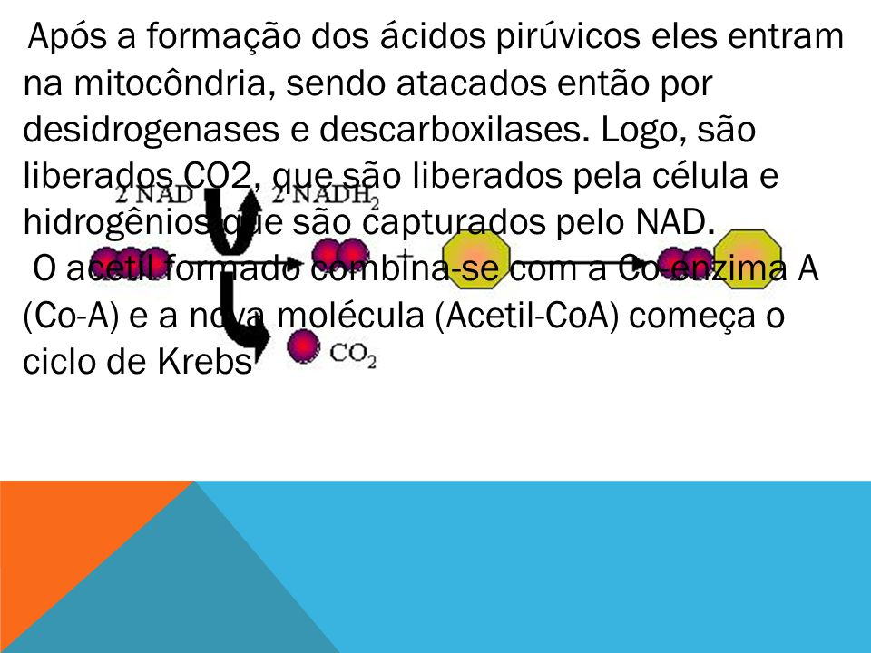Após a formação dos ácidos pirúvicos eles entram na mitocôndria, sendo atacados então por desidrogenases e descarboxilases. Logo, são liberados CO2, que são liberados pela célula e hidrogênios que são capturados pelo NAD.